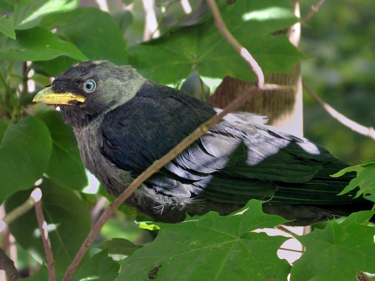 Галка (Corvus monedula). Автор фото: Юрий Семенов