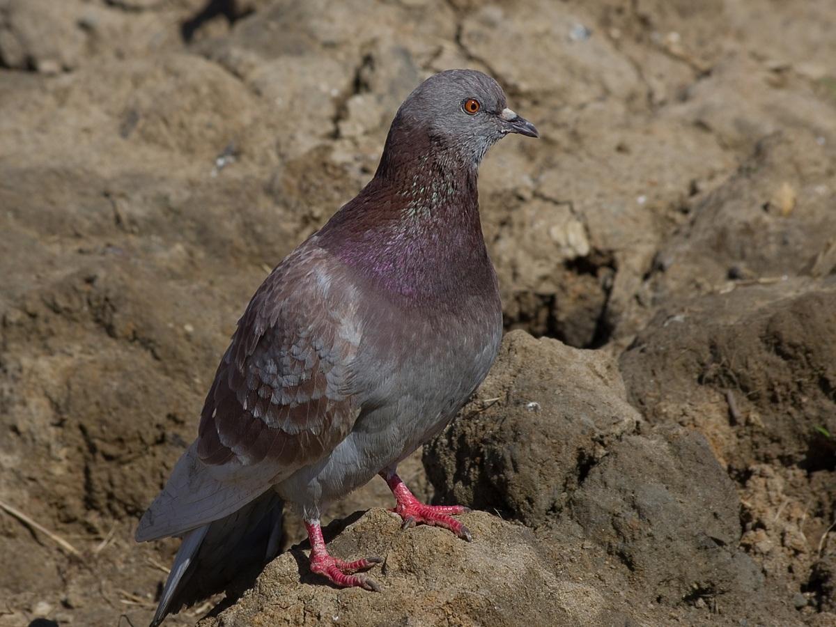 Сизый голубь (Columba livia). Автор фото: Юрий Семенов