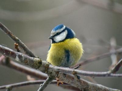 Обыкновенная лазоревка (Cyanistes caeruleus). Тоже часто прилетает на кормушку в холодное время года.  Автор фото: Юрий Семенов