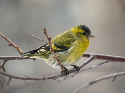 Чиж (Carduelis spinus). Только один раз прилетала к окну эта маленькая пташка.  Автор фото: Юрий Семенов