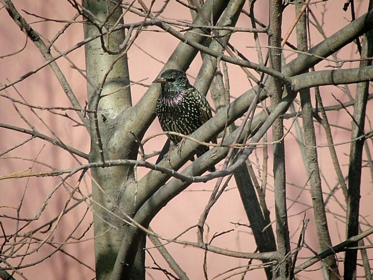 Обыкновенный скворец (Sturnus vulgaris). Автор фото: Юрий Семенов