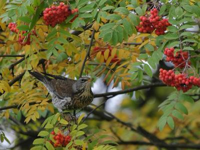 Дрозд Рябинник (Turdus pilaris). Если прилетит стая таких красавцев, то вся рябина в один день опустеет от ягод. Автор фото: Юрий Семенов