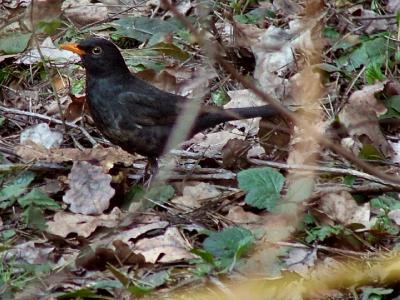 Чёрный дрозд (Turdus merula) Автор: Юрий Семенов