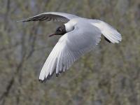 Озёрная чайка (Larus ridibundus). Автор фото: Юрий Семенов