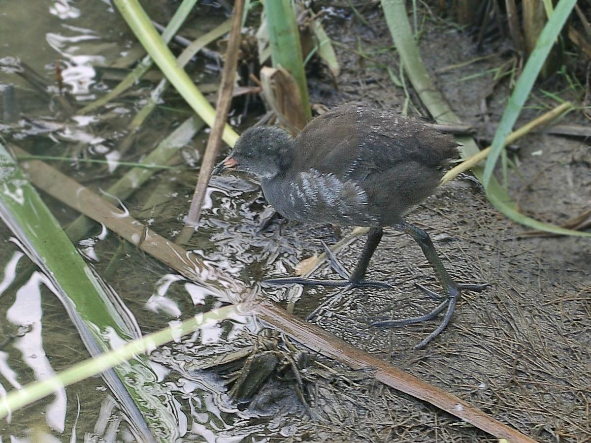 Камышница (Gallinula chloropus). Автор фото: Юрий Семенов