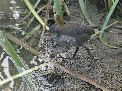 Камышница (Gallinula chloropus) Автор: Юрий Семенов