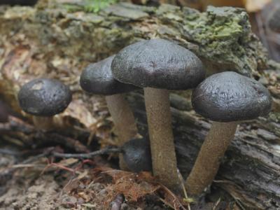 Agrocybe firma (Агроцибе твердая, Полёвка крепкая). Никогда бы не подумал, что этот гриб с лохматой ногой относится к Агроцибе. Видел его в нашем лесу по одному разу в последние два года  Автор фото: Юрий Семенов