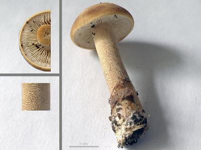 Agrocybe putaminum. Автор фото: Юрий Семенов