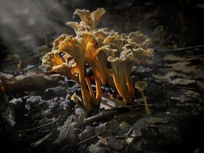 Cantharellus cinereus (Syn: Pseudocraterellus cinerus) ЛИСИЧКА СЕРАЯ. Заросли этой псевдолисички в лучах солнышка. Автор фото: Юрий Семенов