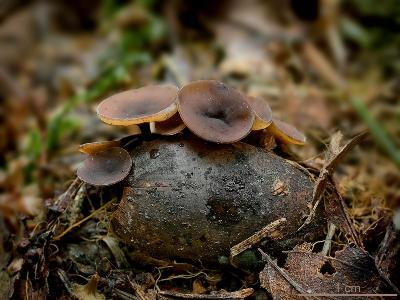 Цибория Бача (Ciboria batschiana). Автор: Юрий Семенов