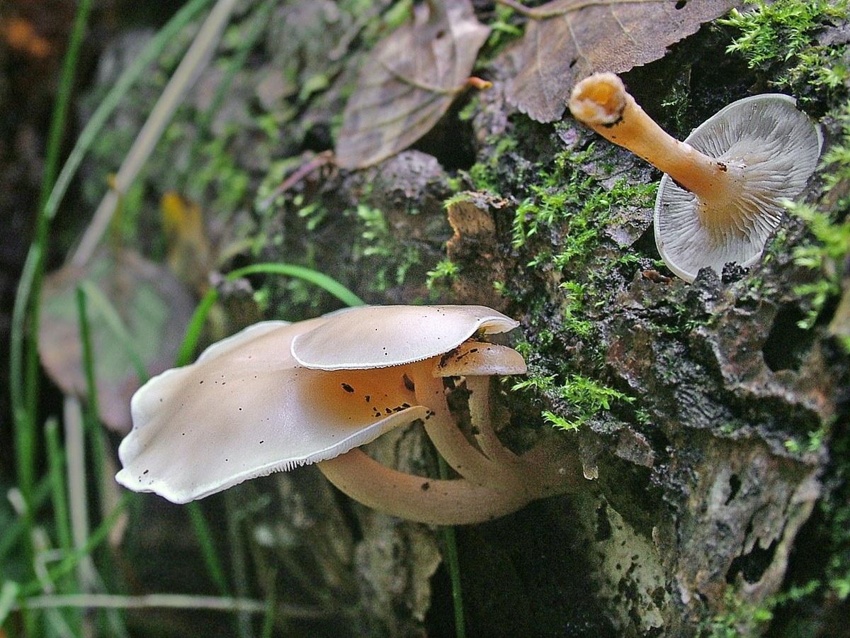 ГОВОРУШКА ДРЕВОЛЮБИВАЯ Clitocybe truncicola . Автор фото: Юрий Семенов