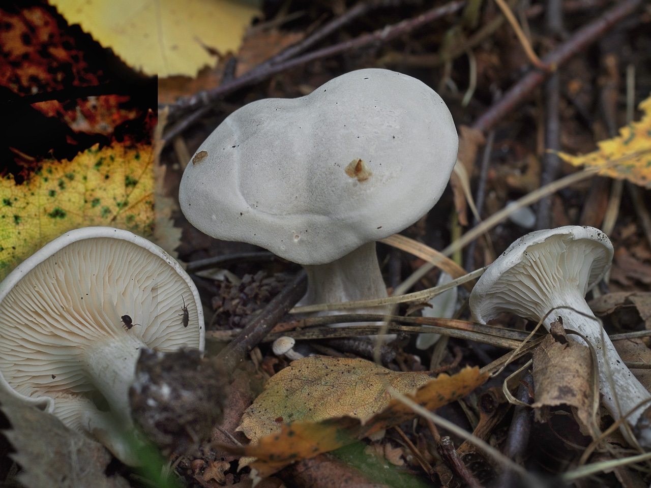 Ивишень (Clitopilus prunulus). Автор фото: Юрий Семенов