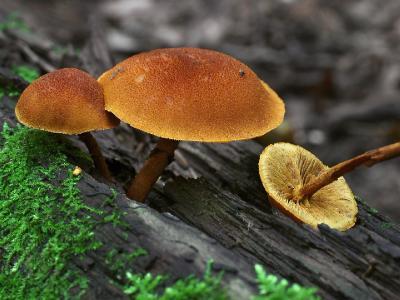 Flammulaster limulatus ФЛАММУЛАСТЕР СКОШЕННЫЙ. Раньше этот крупный среди фламуластеров гриб не был замечен в нашем лесу. Прошедший год был урожайным на фламуластеры. Автор фото: Юрий Семенов