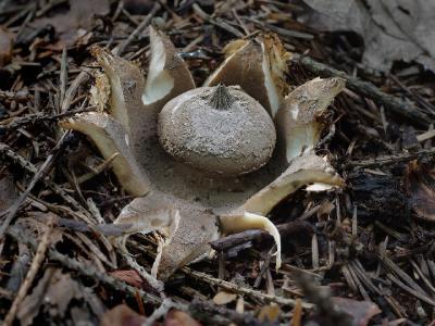 Звездовик гребенчатый (Geastrum pectinatum) Geastrum pectinatum ЗВЕЗДОВИК ГРЕБЕНЧАТЫЙ. В прошлом году этот холодолюбивый гриб раскрылся в июльское похолодание. Я немного опоздал на это представление. Автор фото: Юрий Семенов