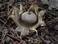 Звездовик гребенчатый (Geastrum pectinatum)