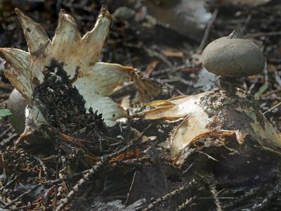 Geastrum pectinatum ЗВЕЗДОВИК ГРЕБЕНЧАТЫЙ. Зрелый звездовик легко перевернуть «вверх ногами». Автор фото: Юрий Семенов