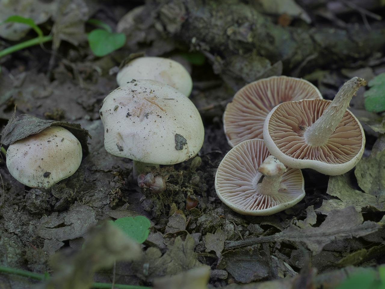 Гебелома сладкопахнущая (Hebeloma sacchariolens). Автор фото:Юрий Семенов