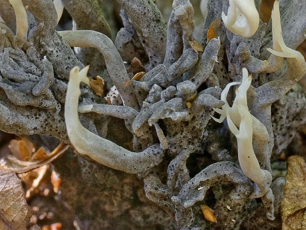 Хельминтосферия клавариевая (Helminthosphaeria clavariarum). Автор фото: Юрий Семенов