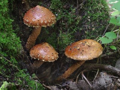 Hemistropharia albocrenulata ФОЛИОТА БЕЛОГОРОДЧАТАЯ, вернее, бывшая фолиота. Это фото из подборки «просто красивых» грибов, в последнее время такая фотография меня все больше привлекает. Автор фото: Юрий Семенов