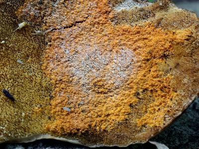 ГИПОМИЦЕС ОРАНЖЕВЫЙ Hypomyces aurantius (2 фото) – паразитный налет на нижней стороне (гименофоре) гриба Трихаптума, скорее всего, Т. пергаментного Trichaptum biforme, т.к. дело было в берёзовом лесу. Что за белый налет – неизвестно, а неплодоносящая (конидиальная) стадия – белый Кладоботриум Cladobotryum varium - на верхней стороне Трихаптума отсутствовала. Зубчато-извилистый гименофор гриба-хозяина обволакивается желто-оранжевой пленкой Гипомицеса с вросшими зерновидными плодовыми телами (перитециями) – они видны на втором снимке. Поражает этот Гипомицес, по литературным сведениям, еще и другие виды грибов – траметы Trametes, бьеркандеры Bjerkandera, инонотус Inonotus, климакоцистис Climacocystis, стекхеринумы Steccherinum, и даже опенки Armillaria sp Автор фото: Юрий Семенов