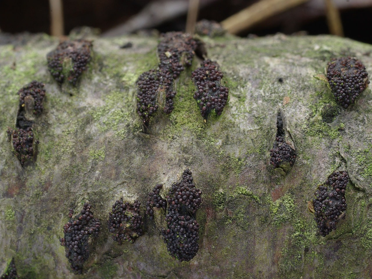 Лазиосферия семенновидная (Lasiosphaeria spermoides). Автор фото:Юрий Семенов