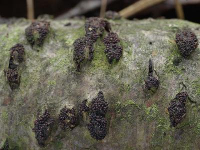 Lasiosphaeria spermoides (Лазиосферия семенновидная). Разрывает кору осиновой древесины. Автор фото: Юрий Семенов
