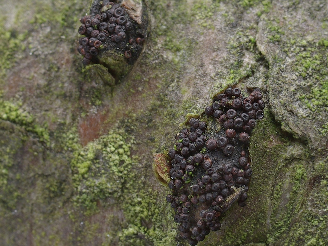 Лазиосферия семенновидная (Lasiosphaeria spermoides). Автор фото: Юрий Семенов