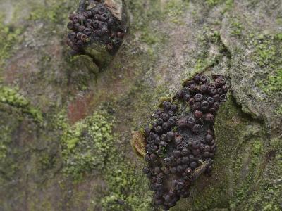 Lasiosphaeria spermoides (Лазиосферия семенновидная). Это мелкие красно-коричневые или красно-бурые шарики в трещинах коры осины. Автор фото: Юрий Семенов