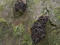 Лазиосферия семенновидная (Lasiosphaeria spermoides)
