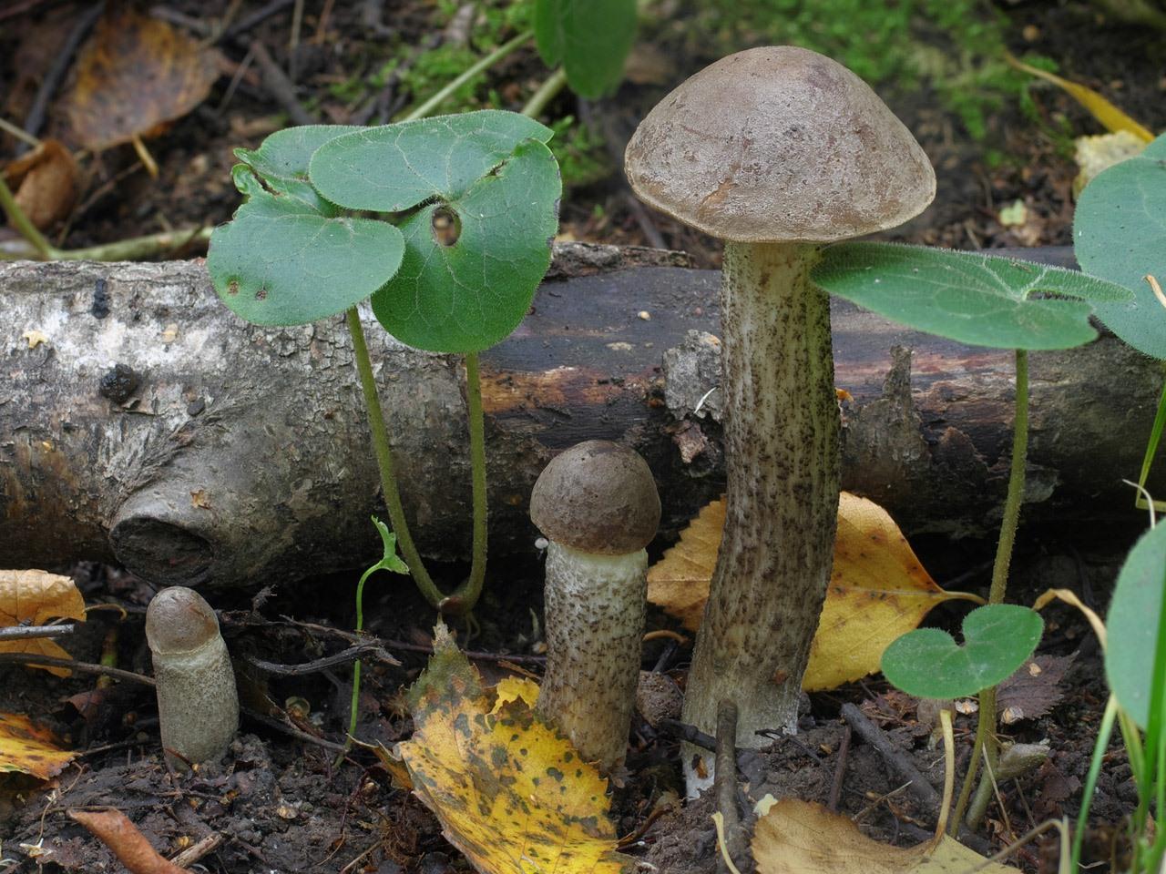 Leccinum schistophilum. Автор фото: Юрий Семенов