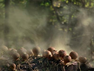 Дождевик грушевидный (Lycoperdon pyriforme)Lycoperdon pyriforme ДОЖДЕВИК ГРУШЕВИДНЫЙ. Одна из первых попыток зафиксировать дымящие дождевики. Автор фото: Юрий Семенов