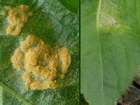 s:паразиты растений,c:желтоватые,c:желтые,f:коркообразные,c:D0B050,c:F0D070,c:B09030,с цветопробами