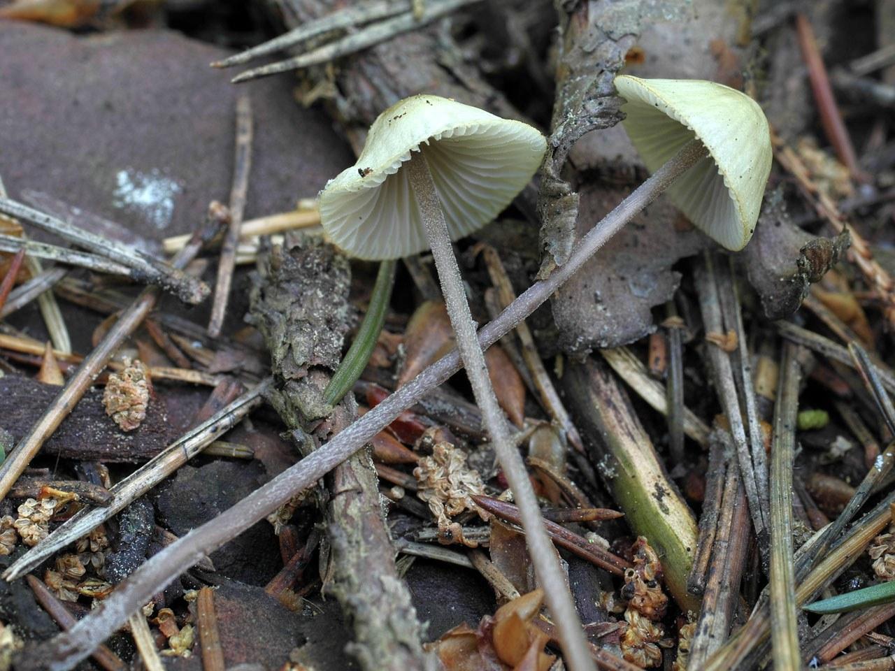 Мицена покрытая (Mycena amicta). Автор фото: