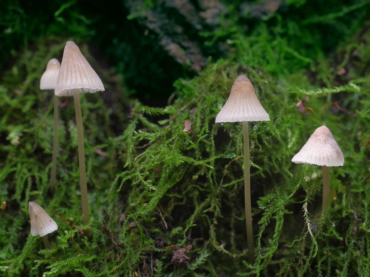 Mycena filopes. Автор фото:Юрий Семенов