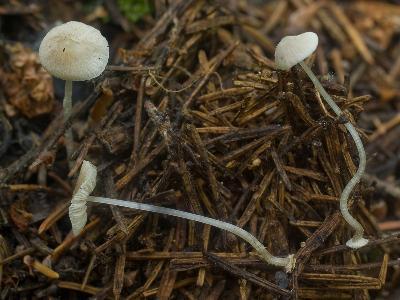 МИЦЕНА ДИСКОВИДНАЯ Mycena stylobates – мелкая мицена с дисковидным «стилобатом» в основании ноги, которым крепится к субстрату. Росли эти мелкие грибы на еловых иголках. Перепутать эти мелкие мицены с другими грибами сложно, надо только их увидеть. Есть еще пара видов более мелких мицен, которые крепятся к субстрату аналогично.  Автор фото: Юрий Семенов