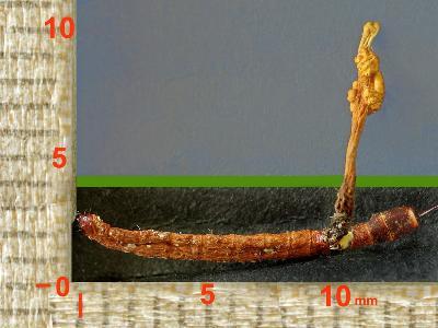 КОРДИЦЕПС ИЗМЕНЧИВЫЙ Ophiocordyceps variabilis . Автор фото: Юрий Семенов