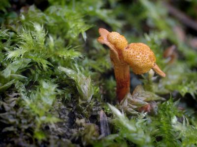 Ophiocordyceps variabilis (Кордицепс изменчивый). В 2014 году обнаружил еще один упавший ствол (осины) с этими грибами, паразитирующими на личинках жуков внутри древесины.  Автор фото: Юрий Семенов