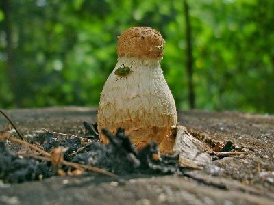 ЧЕШУЙЧАТКА РАЗРУШАЮЩАЯ Pholiota destruens обычно бывает белого цвета, но эта, выросшая на спиле березы, почему-то порыжела. Автор фото: Юрий Семенов