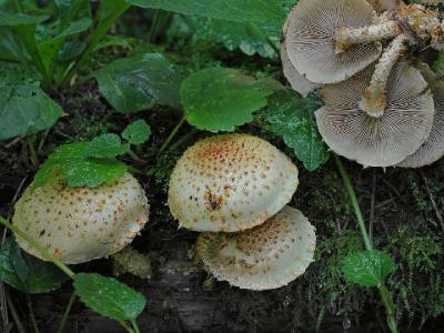 Pholiota squarrosoides ЧЕШУЙЧАТКА СВЕТЛО-ОХРИСТАЯ. Не часто она у нас встречается на мертвой древесине осины. Автор фото: Юрий Семенов