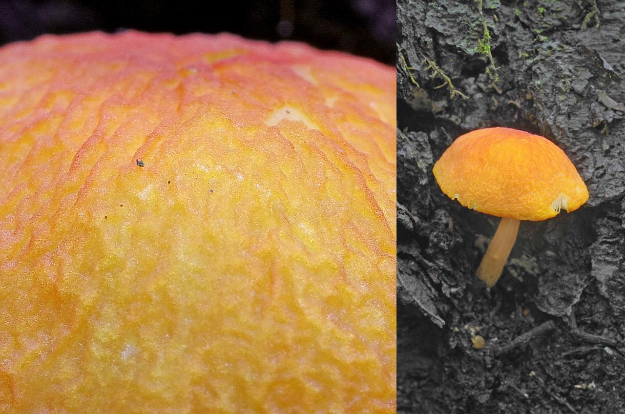 Плютей оранжево-морщинистый (Pluteus aurantiorugosus). Автор фото:Юрий Семенов