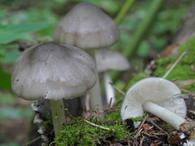 Pluteus salicinus (Плютей ивовый). На этот раз цвет был чисто серый, стальной. Автор фото: Юрий Семенов