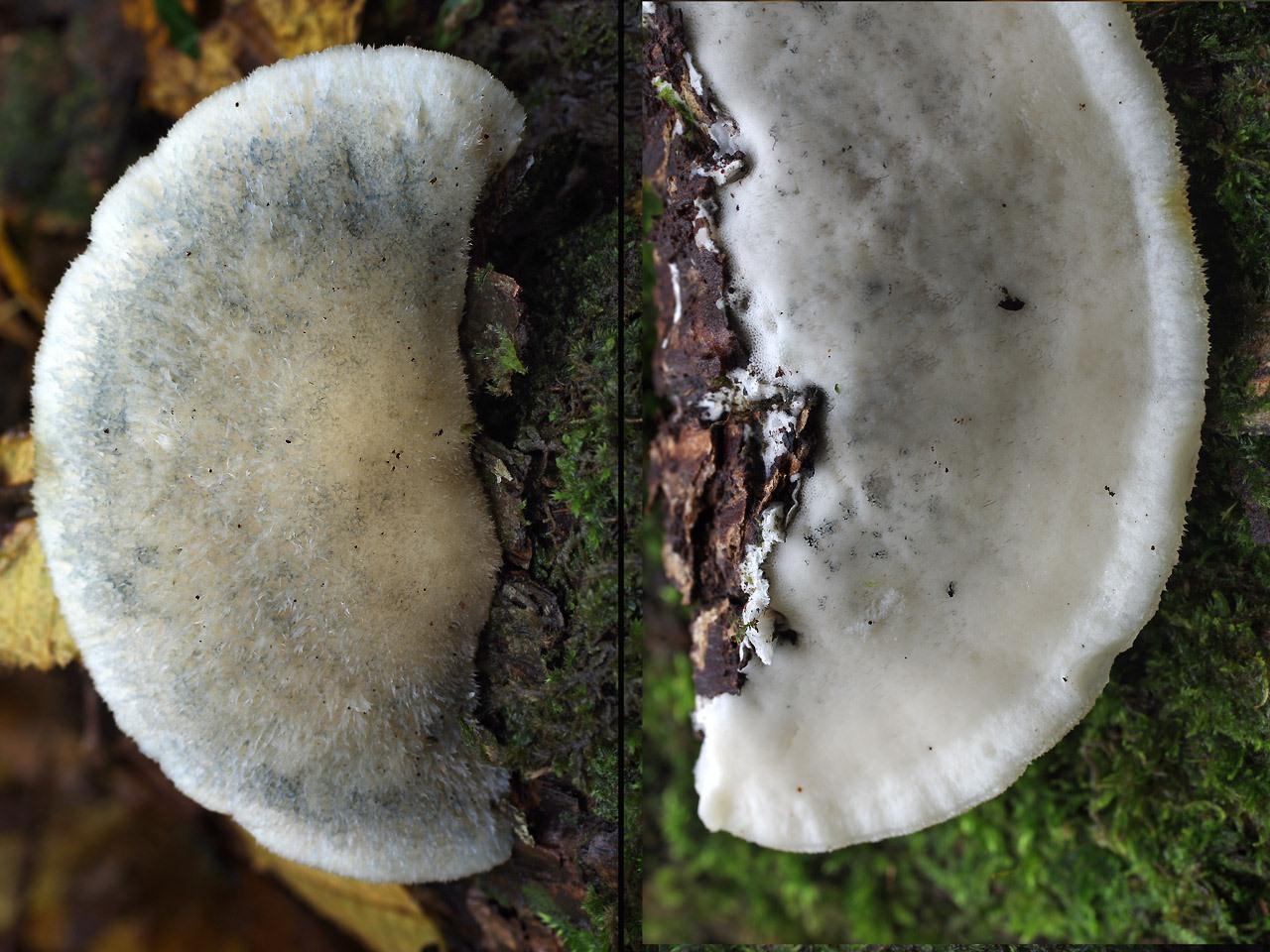 Постия серовато-голубоватая (Postia subcaesia). Автор фото:Юрий Семенов