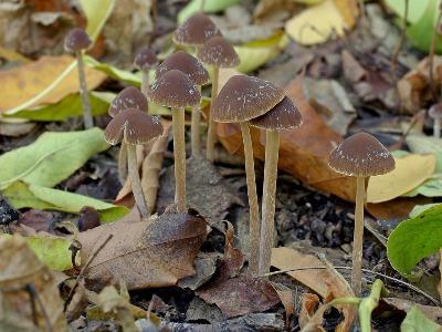 Псатирелла коническая (Parasola conopilus). Автор фото: Юрий Семенов