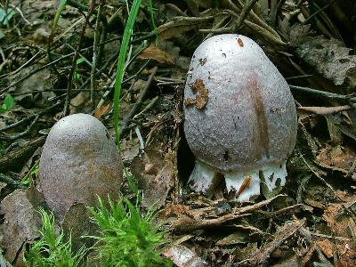 КОЛПАК КОЛЬЧАТЫЙ Rozites caperata в детстве часто окрашен в сизые цвета. Автор фото: Юрий Семенов