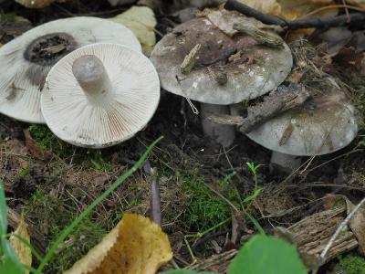 Russula anthracina (Подгруздок угольно-черный). Первая находка в нашем лесу. Частые пластинки у него отливают розоватым цветом (точно так же, как у белого подгруздка – зеленоватым). Автор фото: Юрий Семенов