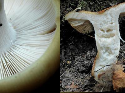 Russula grata (Сыроежка миндальная). Пластинки у нее заметно пахнут миндалем. И нога внутри не «ржавая». Автор фото: Юрий Семенов