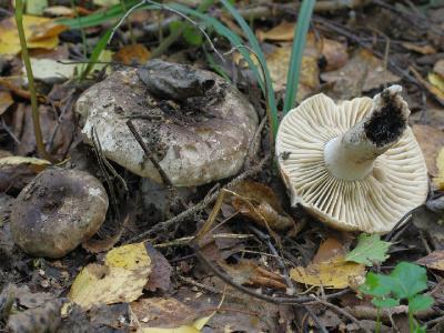 Russula nigricans (Подгруздок чернеющий). У этого подгруздка пластинки редкие. Автор фото: Юрий Семенов