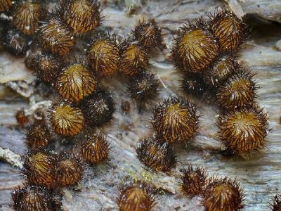 Scutellinia setosa (Скутеллиния щетинистая). Молодая желтая скутеллиния обнаружена на осиновой древесине, которая даже в самую сушь оставалась насквозь промокшей, сырой. Автор фото: Юрий Семенов