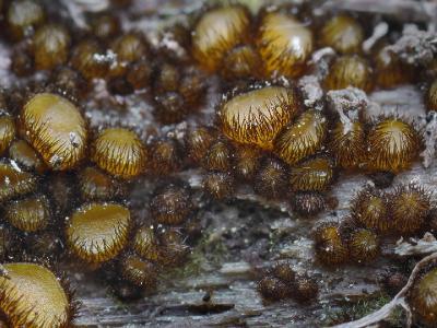 Scutellinia setosa (Скутеллиния щетинистая). Растет плотными многочисленными колониями. Автор фото: Юрий Семенов
