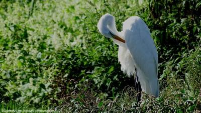 Большая белая цапля (Ardea alba) Автор: Константин Ширяев